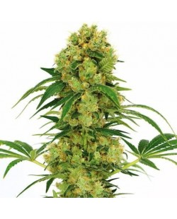 Strawberry Cough Feminized