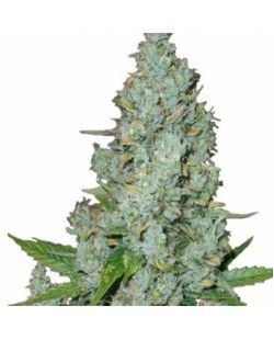 American Dream® Feminized