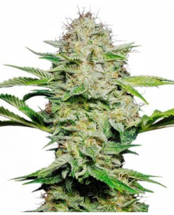 Degenetica Skunk Automatic Seeds