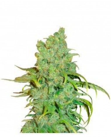 Blue Dream Feminized