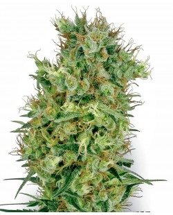 California Orange Feminized