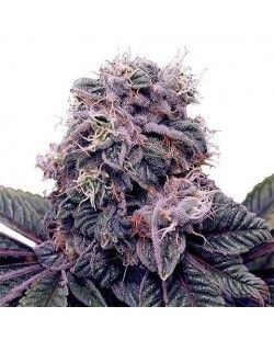 Grand Daddy Purple Feminized