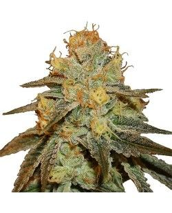 Larry Og Feminized