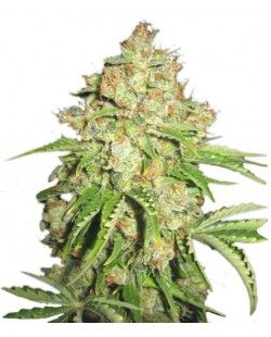 Pineapple Express Feminized