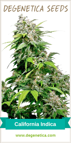 California Indica Feminized Seeds