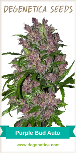 Purple Bud Autoflowering Seeds