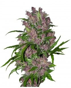 Purple Bud Automatic seeds