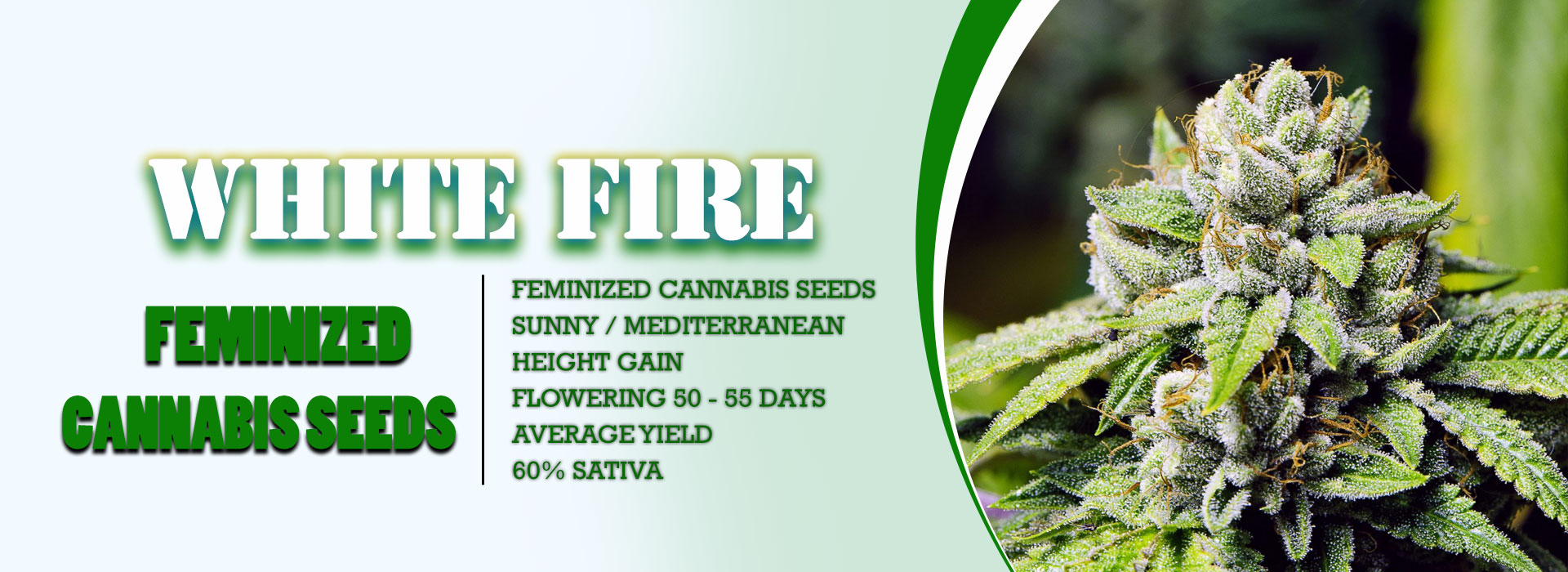 White Fire Feminized Seeds