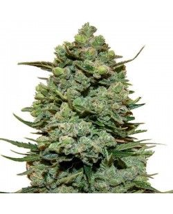 Sour Diesel Feminized Seeds