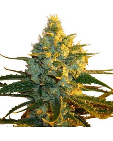 Super Lemon Haze Feminized