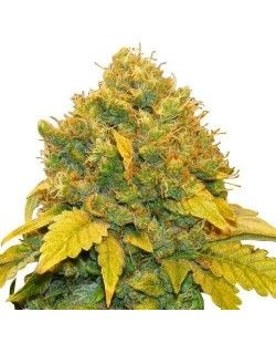 Sweet Tooth Automatic Seeds