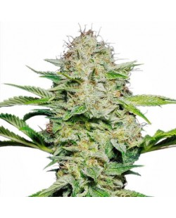 Black Domina® Feminized