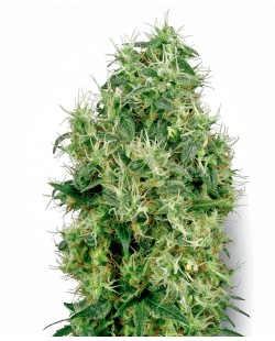 White Gold Feminized Seeds