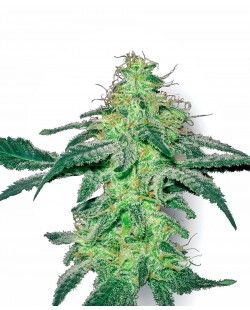 White Skunk Feminized Seeds